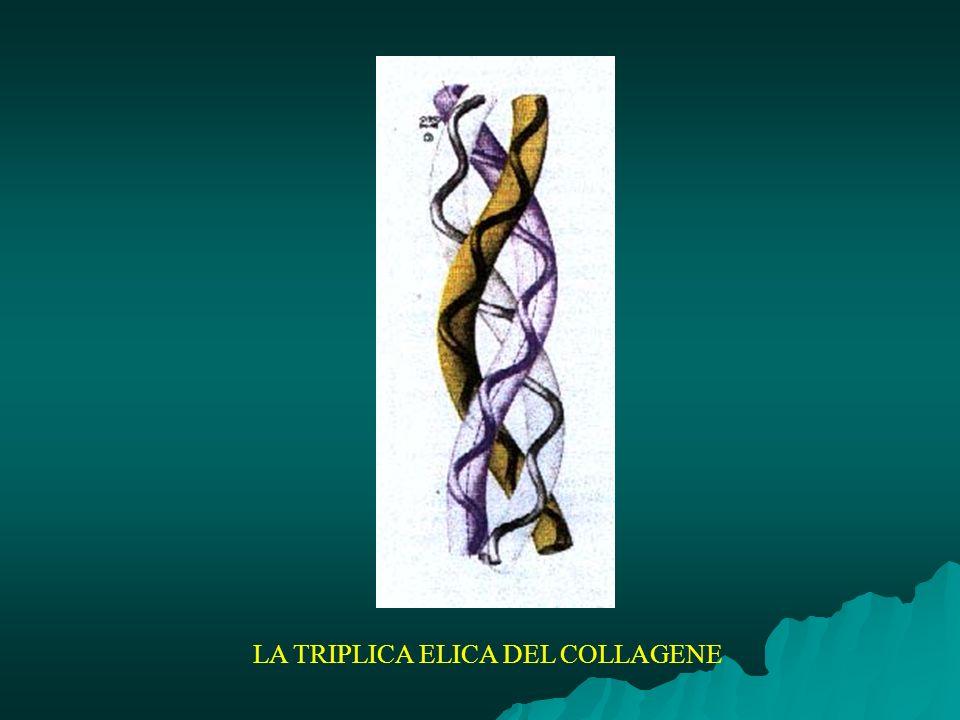 LA TRIPLICA ELICA DEL COLLAGENE