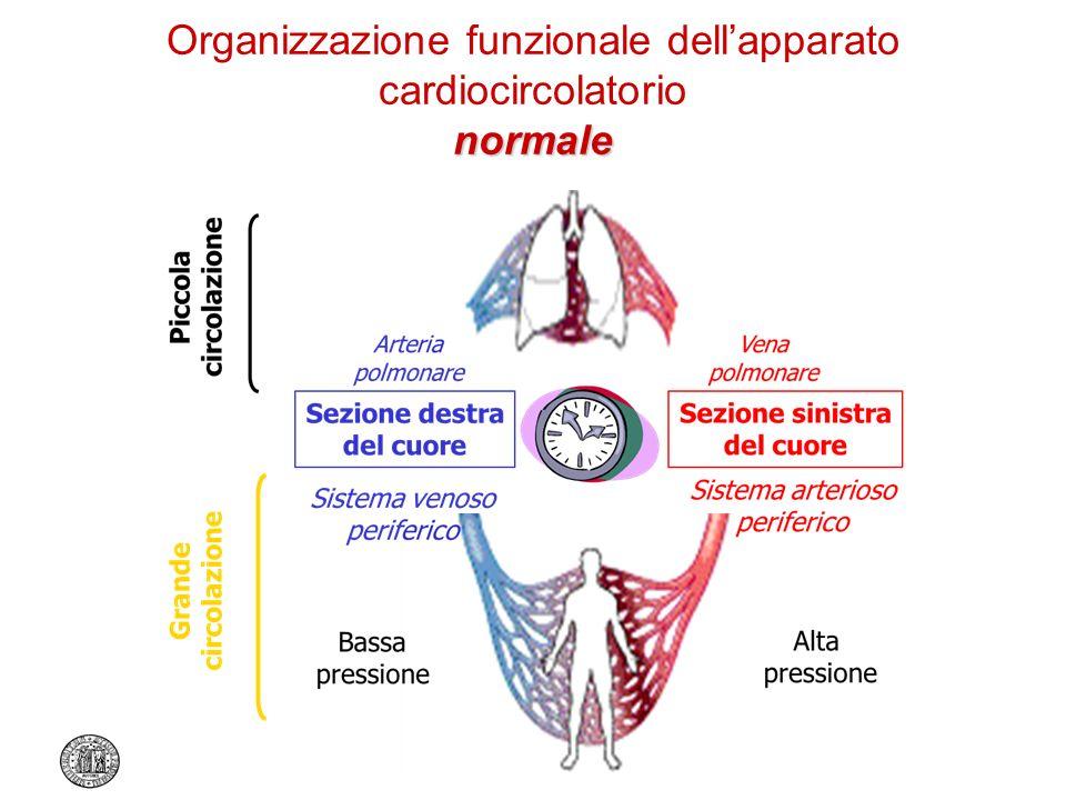 Organizzazione funzionale dell'apparato cardiocircolatorio normale