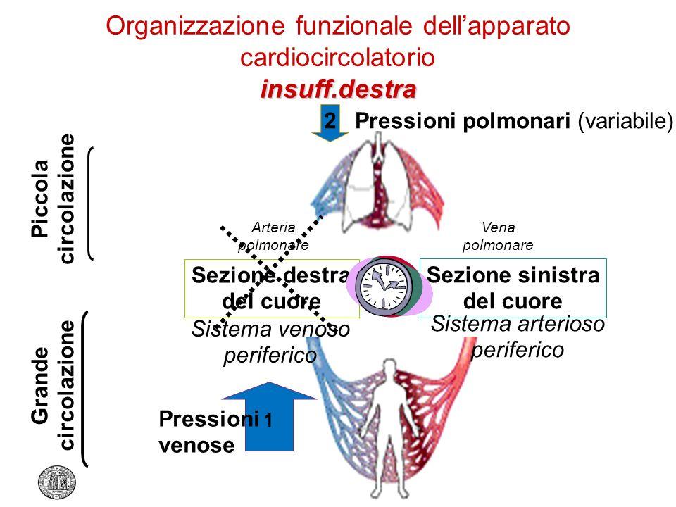 Organizzazione funzionale dell'apparato cardiocircolatorio insuff