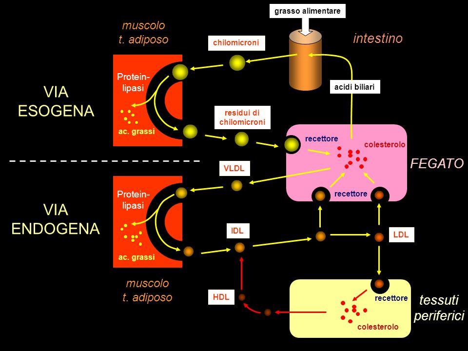 VIA ESOGENA VIA ENDOGENA intestino FEGATO tessuti periferici muscolo
