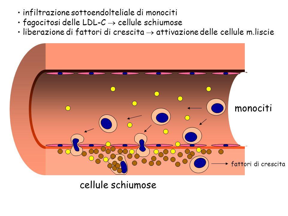 monociti cellule schiumose infiltrazione sottoendolteliale di monociti