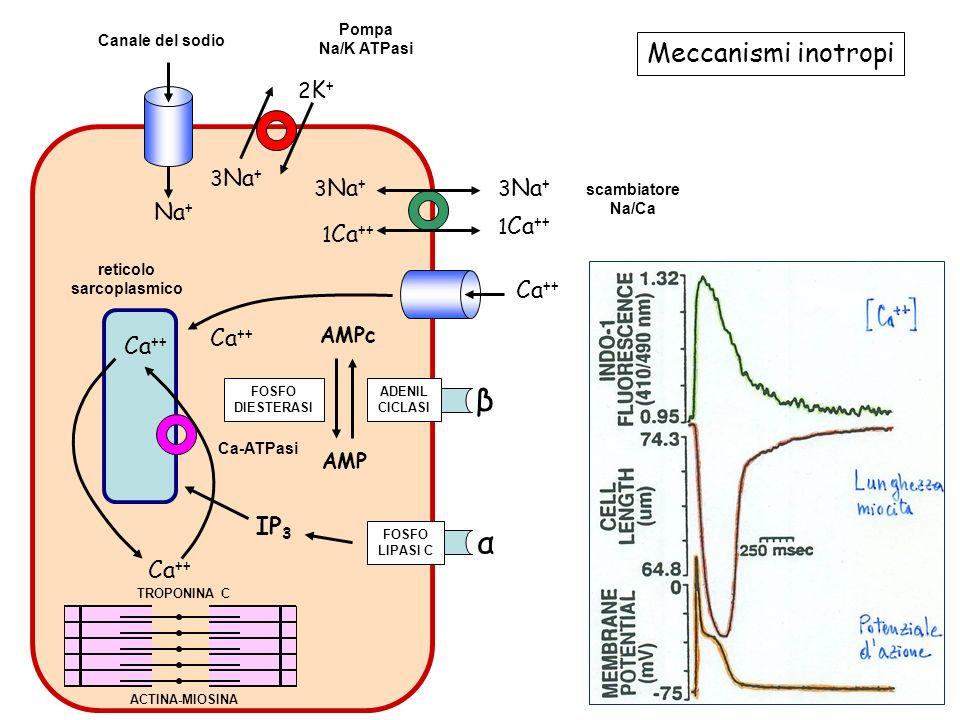 β α Meccanismi inotropi Na+ Ca++ IP3 2K+ 3Na+ 1Ca++ AMPc AMP Pompa