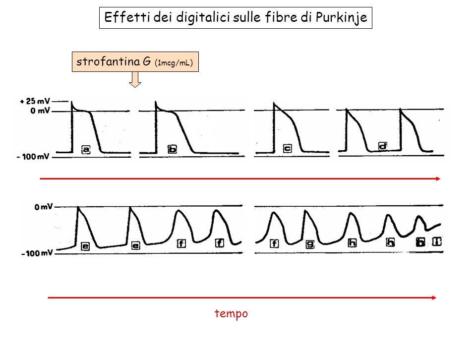 Effetti dei digitalici sulle fibre di Purkinje