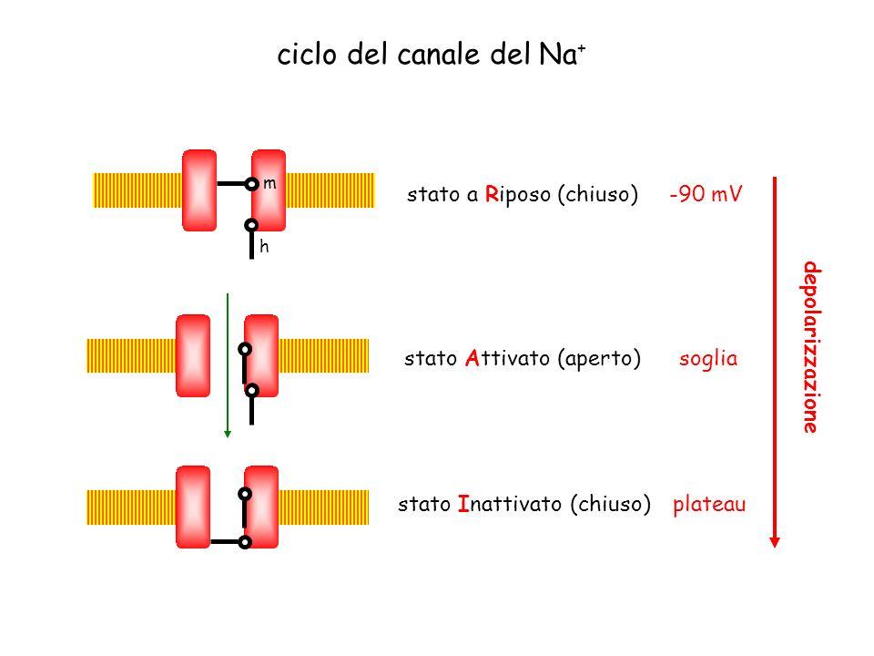 ciclo del canale del Na+