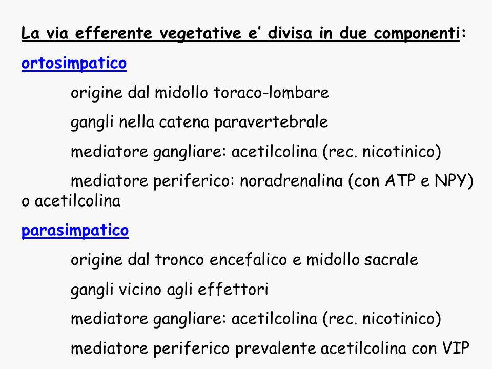 La via efferente vegetative e' divisa in due componenti: