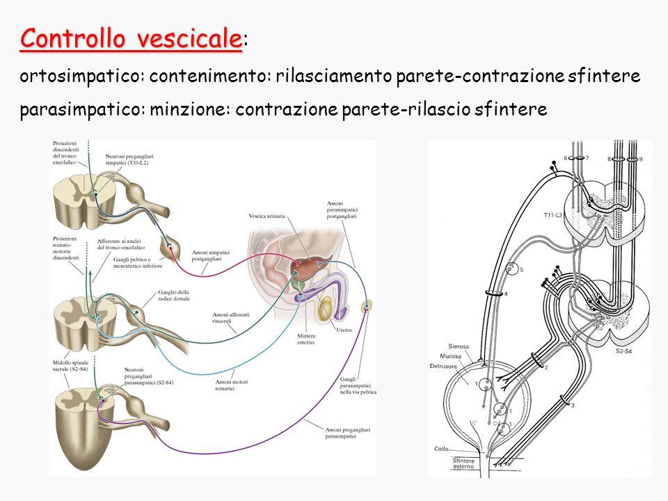 Controllo vescicale: ortosimpatico: contenimento: rilasciamento parete-contrazione sfintere.