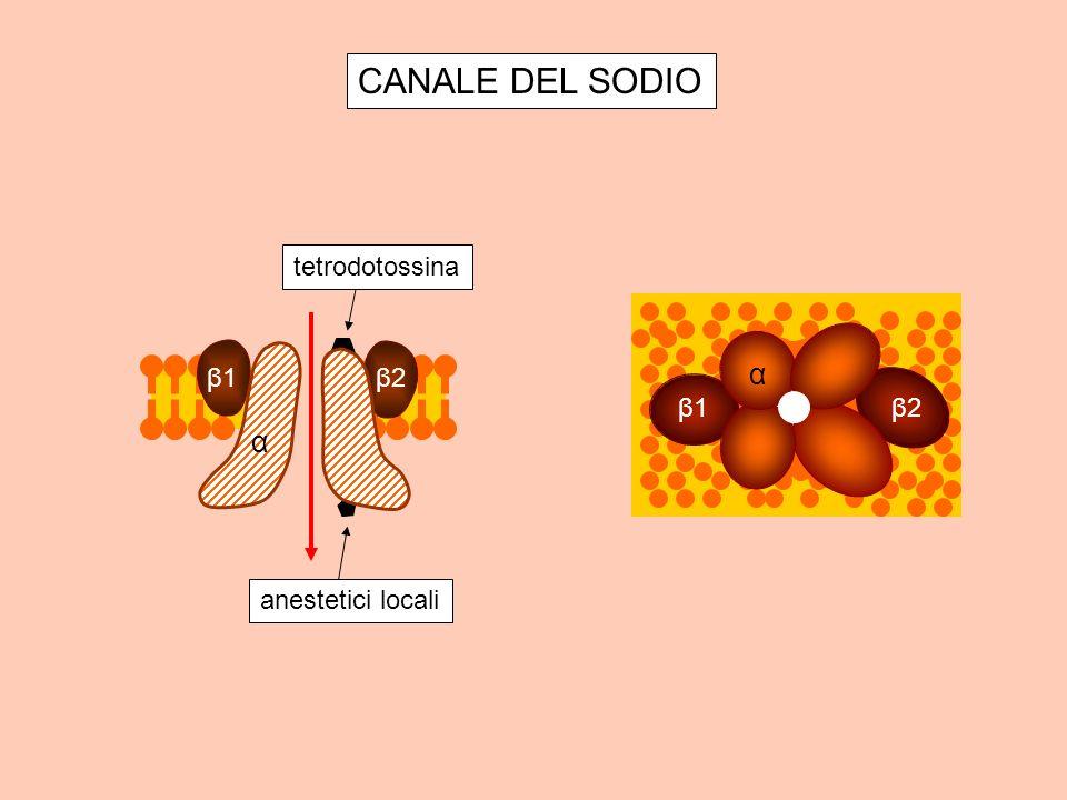 CANALE DEL SODIO α β2 β1 tetrodotossina anestetici locali β2 β1 α