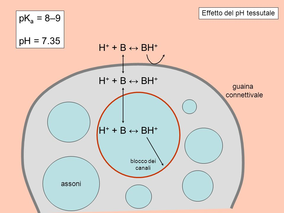 pKa = 8–9 pH = 7.35 H+ + B ↔ BH+ Effetto del pH tessutale guaina