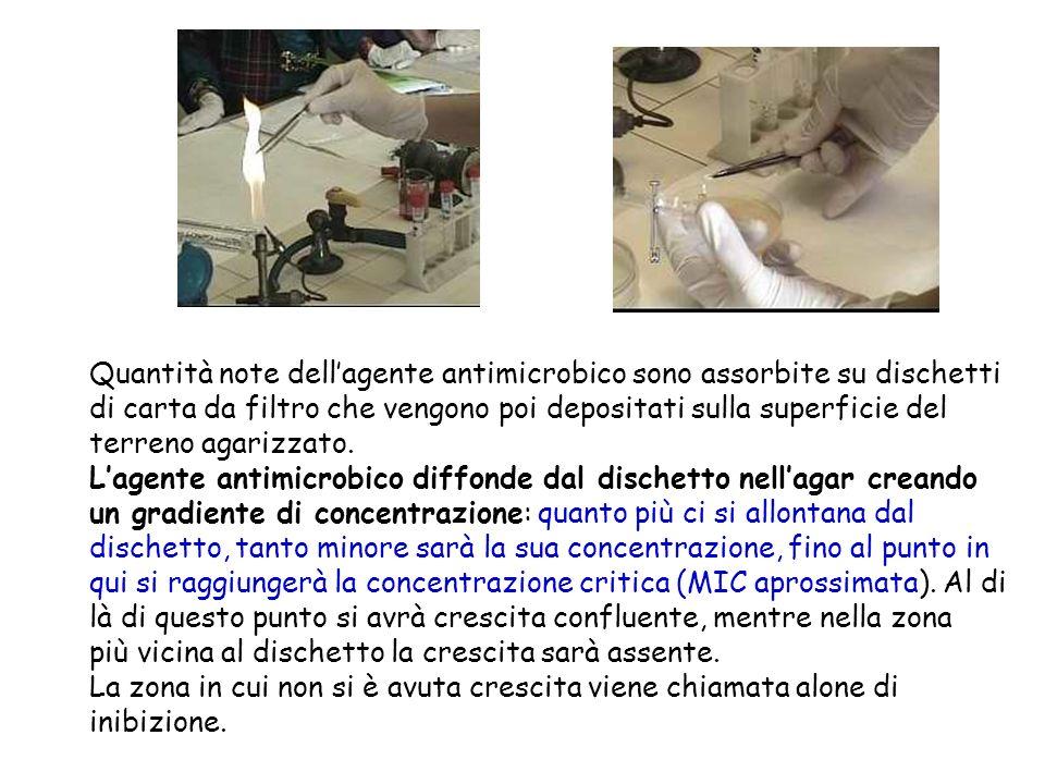 Quantità note dell'agente antimicrobico sono assorbite su dischetti di carta da filtro che vengono poi depositati sulla superficie del terreno agarizzato.