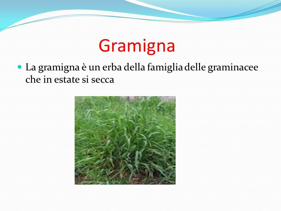Gramigna La gramigna è un erba della famiglia delle graminacee che in estate si secca
