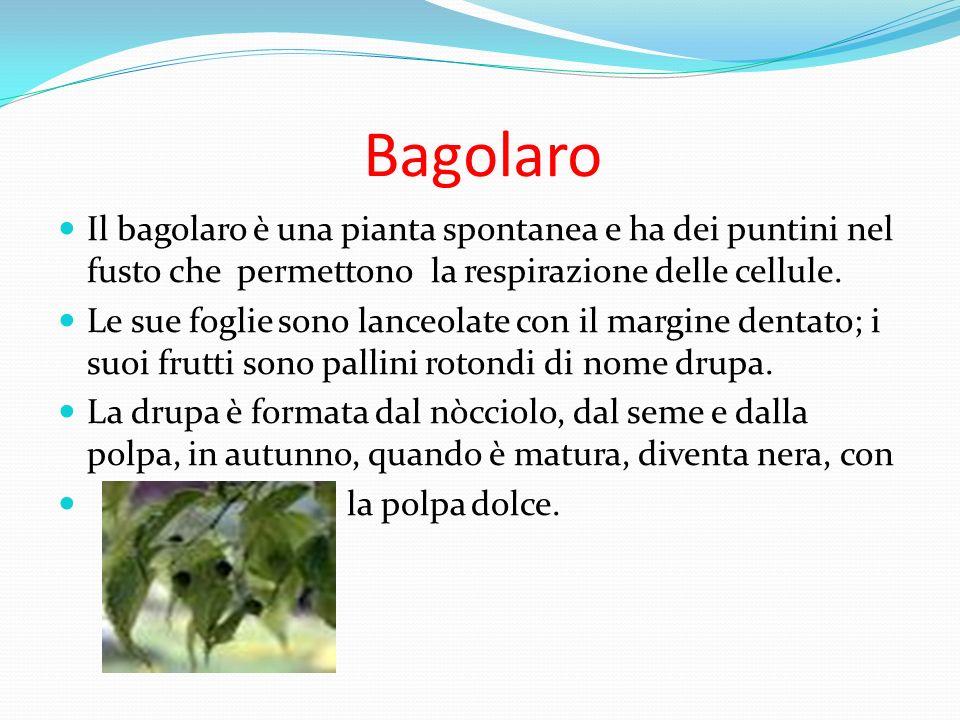 BagolaroIl bagolaro è una pianta spontanea e ha dei puntini nel fusto che permettono la respirazione delle cellule.