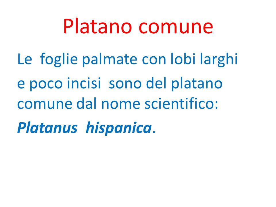 Platano comune Le foglie palmate con lobi larghi e poco incisi sono del platano comune dal nome scientifico: Platanus hispanica.