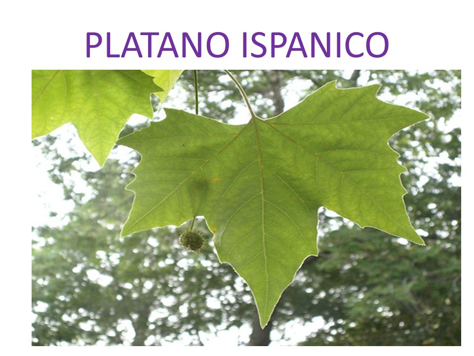 PLATANO ISPANICO