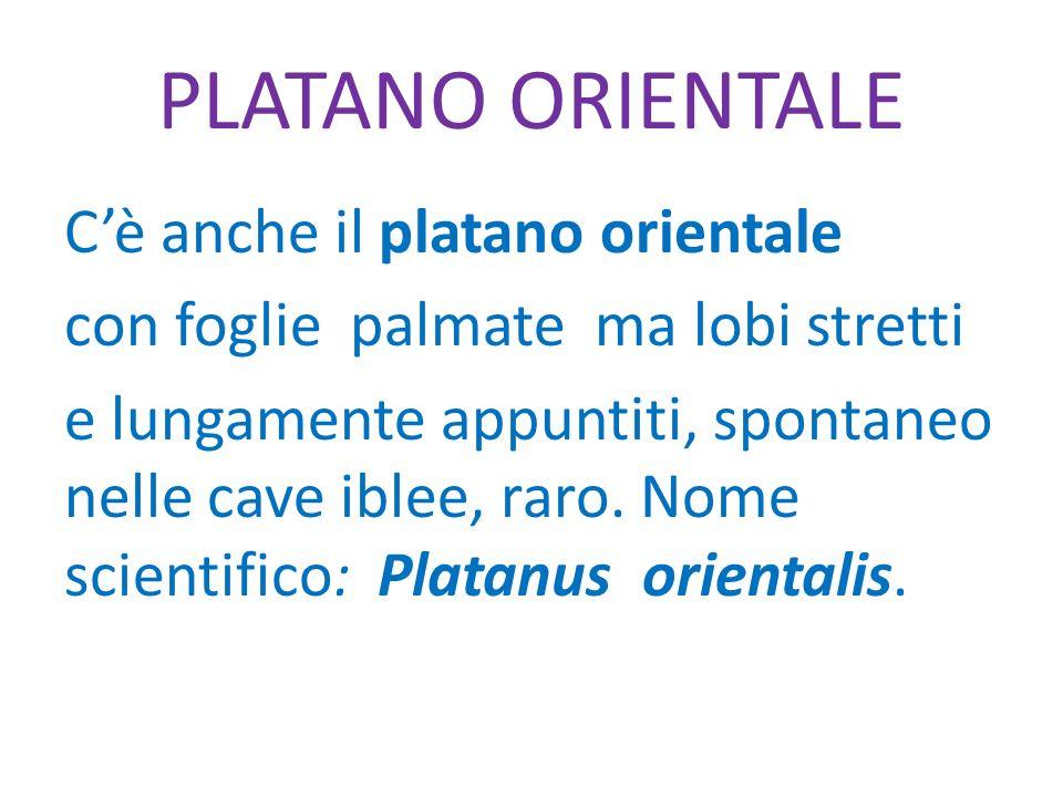 PLATANO ORIENTALE