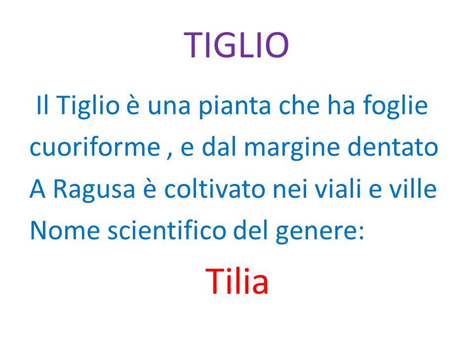 TIGLIO Tilia Il Tiglio è una pianta che ha foglie