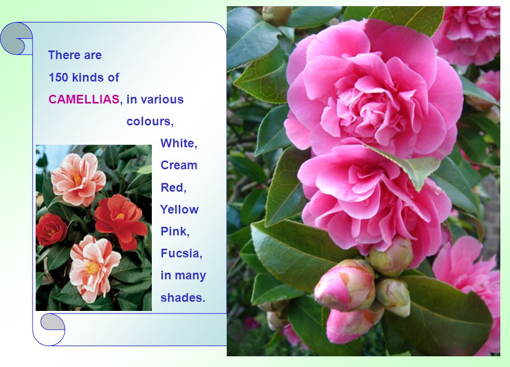 There are 150 kinds of. CAMELLIAS, in various. colours, White, Cream. Red, Yellow. Pink, Fucsia,