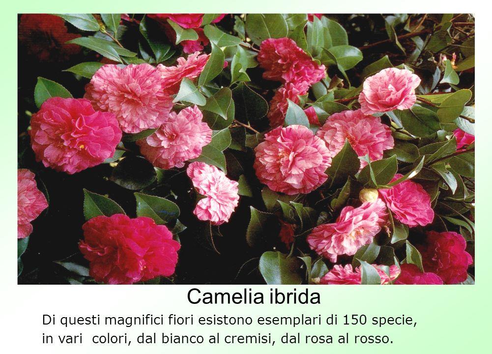 Camelia ibrida Di questi magnifici fiori esistono esemplari di 150 specie, in vari colori, dal bianco al cremisi, dal rosa al rosso.