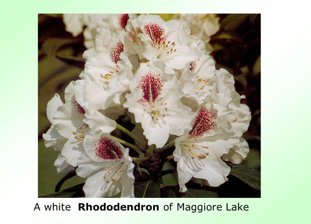 A white Rhododendron of Maggiore Lake