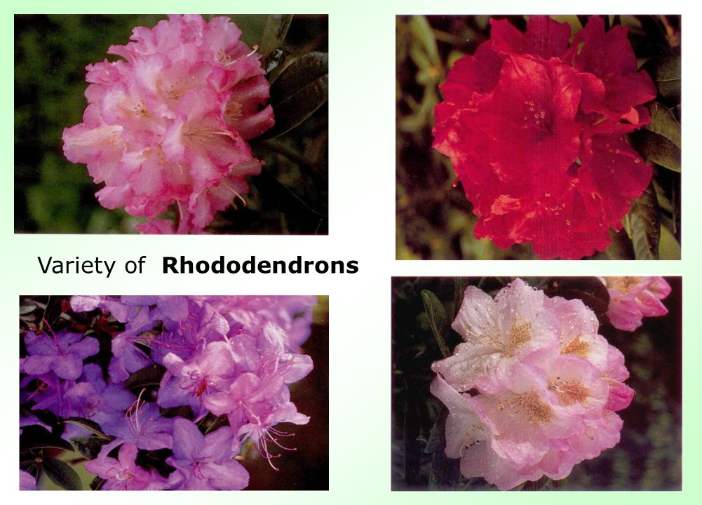 Variety of Rhododendrons