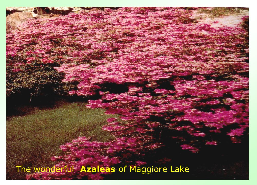 The wonderful Azaleas of Maggiore Lake