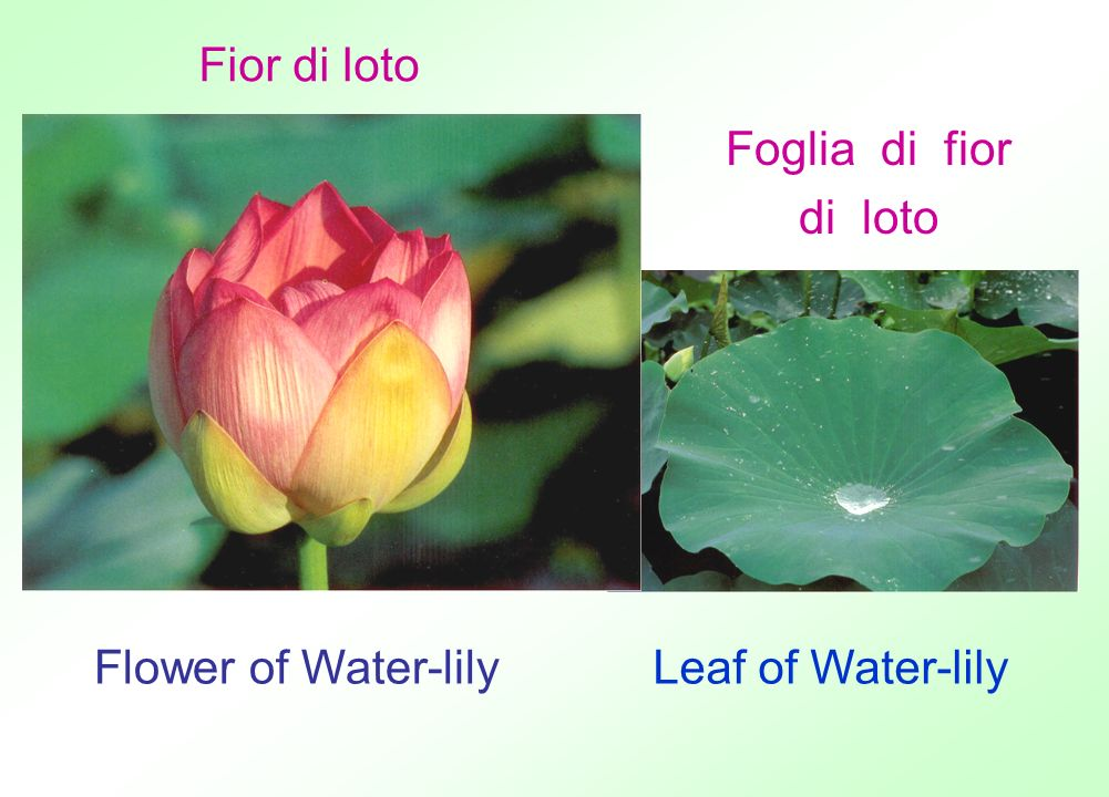 Fior di loto Foglia di fior di loto Flower of Water-lily Leaf of Water-lily
