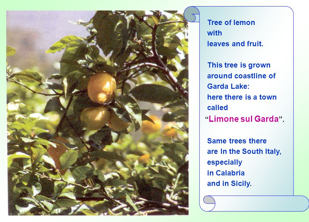 Tree of lemon with. leaves and fruit. This tree is grown. around coastline of. Garda Lake: here there is a town.