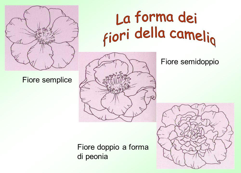La forma dei fiori della camelia Fiore semidoppio Fiore semplice