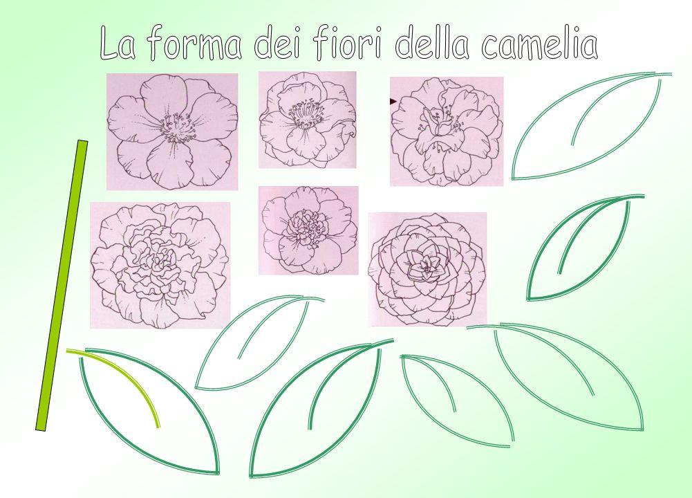 La forma dei fiori della camelia