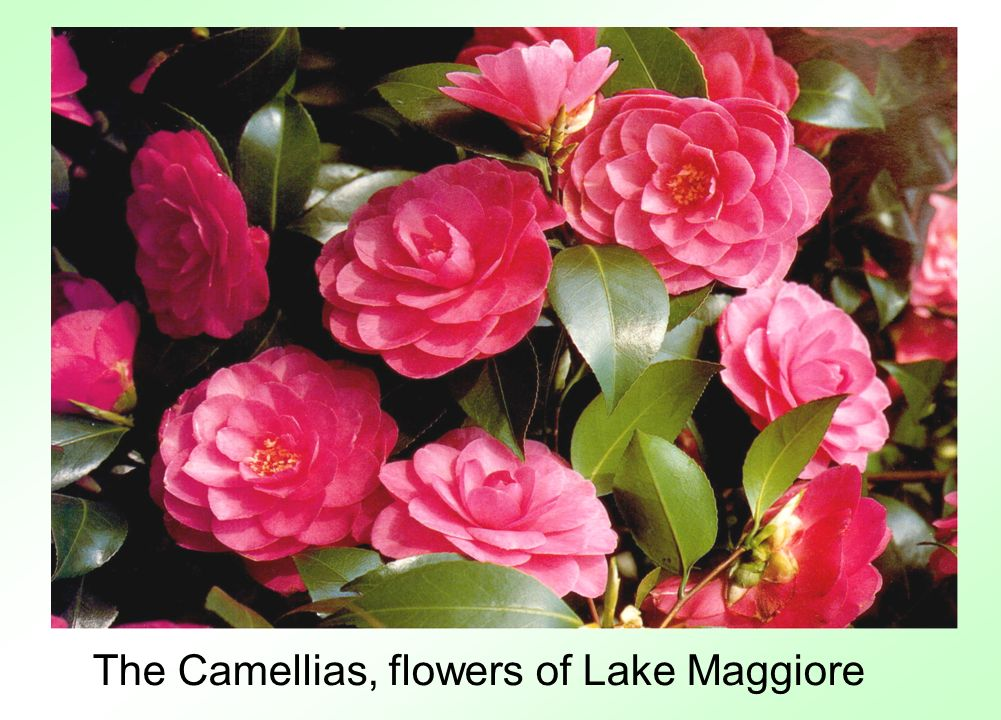 The Camellias, flowers of Lake Maggiore