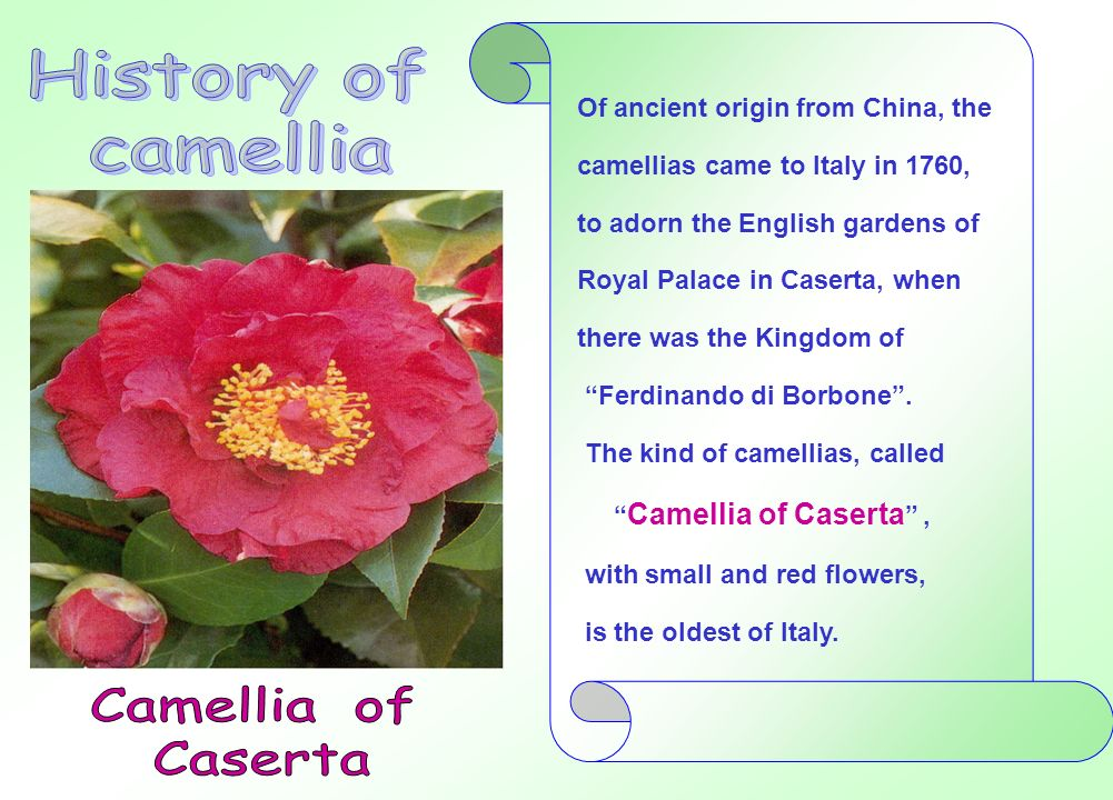History of camellia Camellia of Caserta