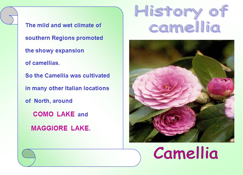 History of camellia Camellia COMO LAKE and MAGGIORE LAKE.