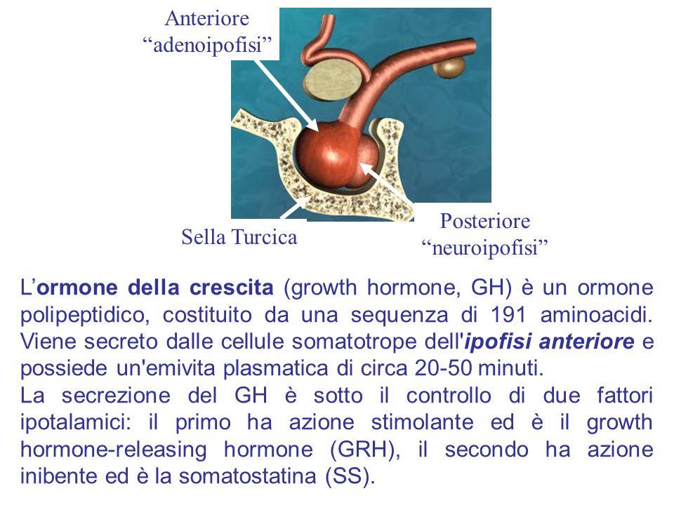 Anteriore adenoipofisi Posteriore. neuroipofisi Sella Turcica.