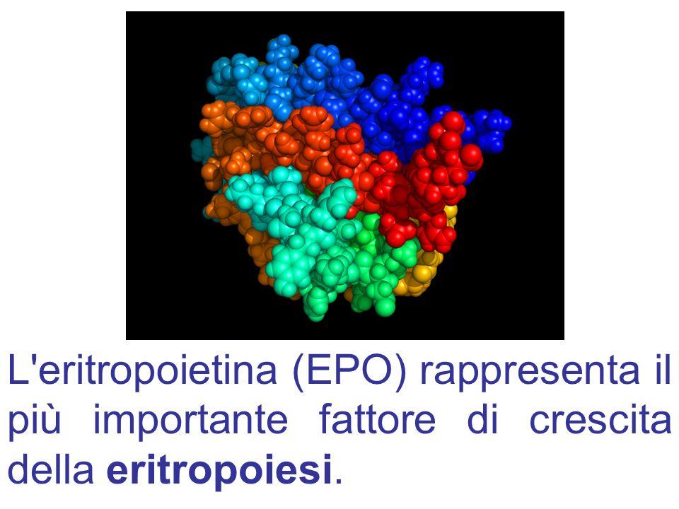 L eritropoietina (EPO) rappresenta il più importante fattore di crescita della eritropoiesi.