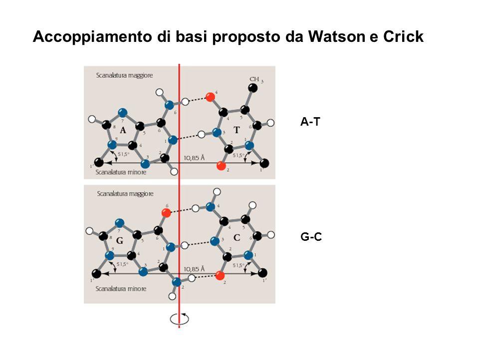 Accoppiamento di basi proposto da Watson e Crick