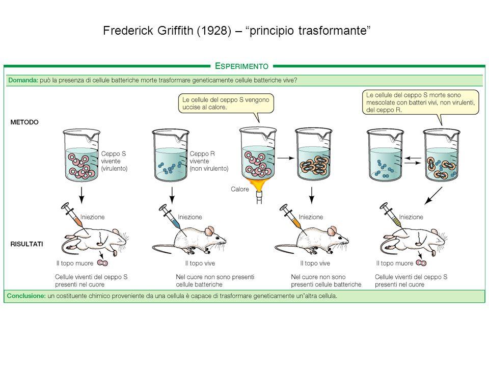 Frederick Griffith (1928) – principio trasformante
