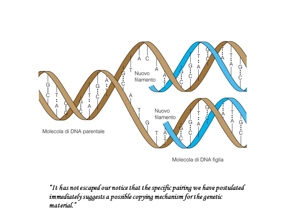 It has not escaped our notice that the specific pairing we have postulated immediately suggests a possible copying mechanism for the genetic material.
