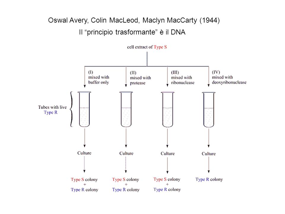 Oswal Avery, Colin MacLeod, Maclyn MacCarty (1944)