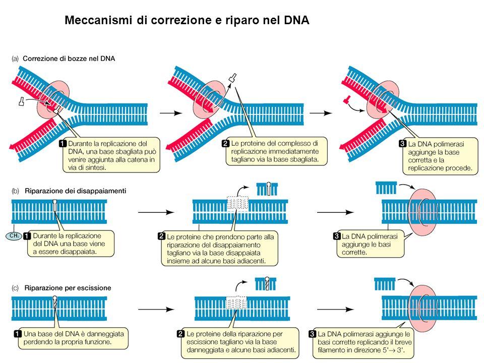 Meccanismi di correzione e riparo nel DNA