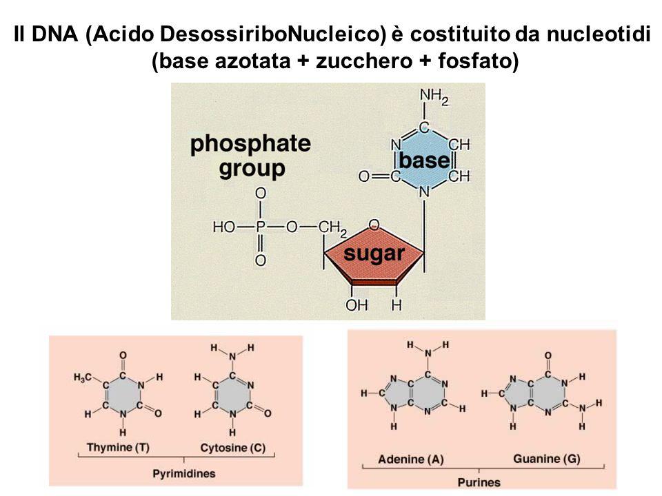 Il DNA (Acido DesossiriboNucleico) è costituito da nucleotidi