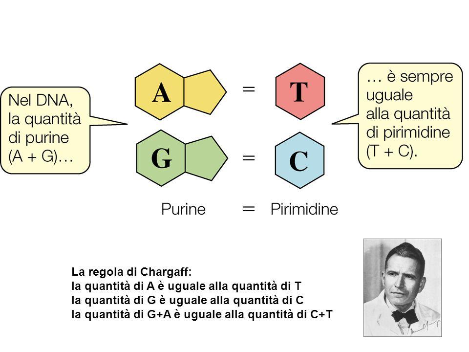La regola di Chargaff: la quantità di A è uguale alla quantità di T. la quantità di G è uguale alla quantità di C.
