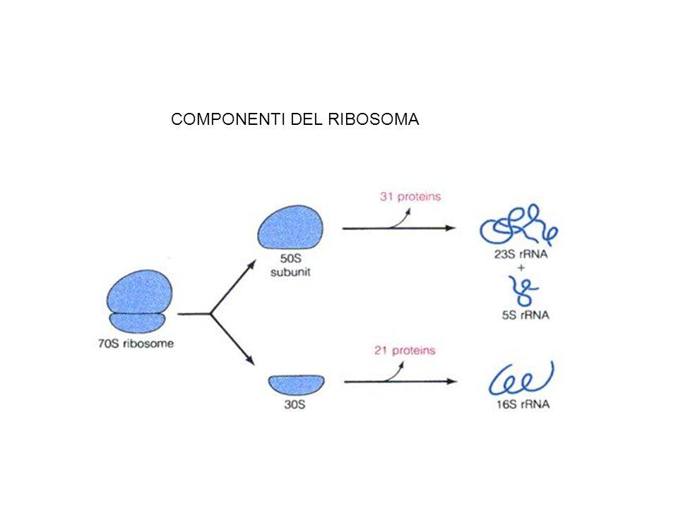 COMPONENTI DEL RIBOSOMA