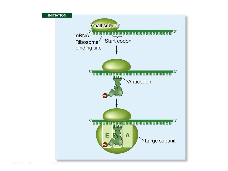 Scansione dell'mRNA dal 5' al 3' fino a trovare il primo aug