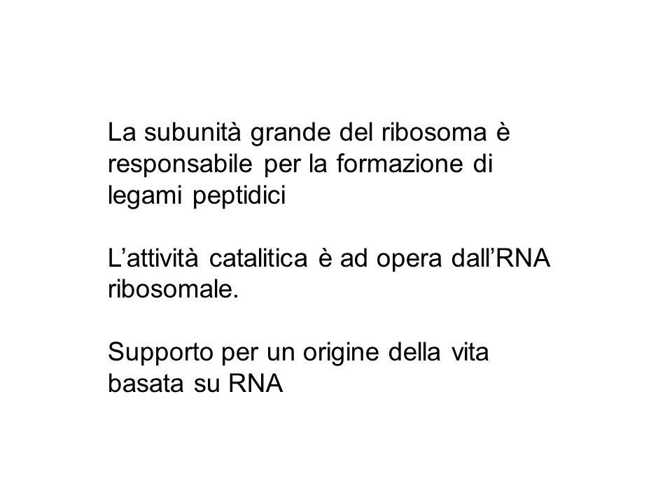 La subunità grande del ribosoma è responsabile per la formazione di legami peptidici