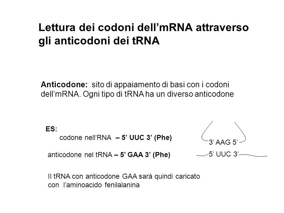 Lettura dei codoni dell'mRNA attraverso gli anticodoni dei tRNA