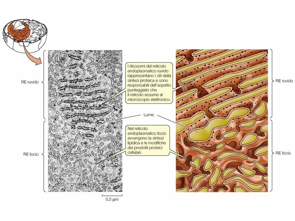 Nel reticolo endoplasmatico sono sintetizzate tutte le proteine destinate a rimanere nel sistema di membrane interne o ad essere secrete