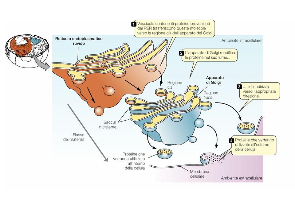 Il reticolo endoplasmatico comunica con il golgi attraverso un sistema di vescicole.