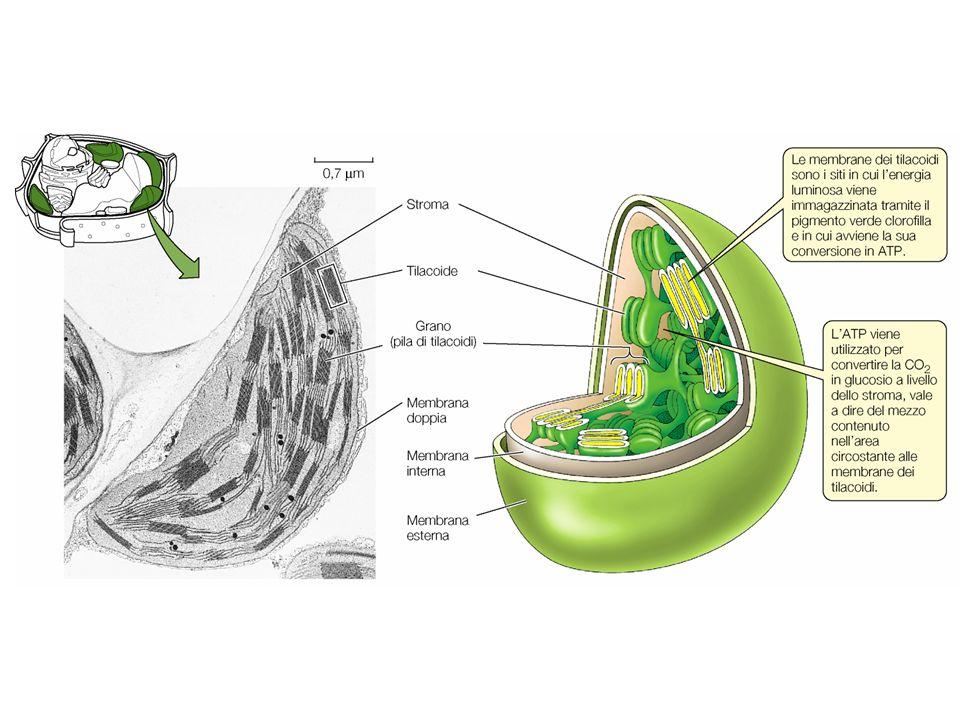 Il cloroplasto è l'organello che sfama tutta la biosfera.