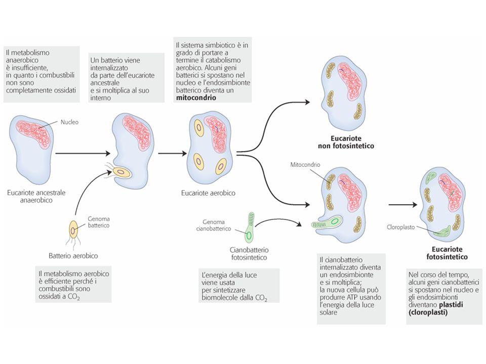 La doppia membrana potrebbe derivare dal processo di endocitosi