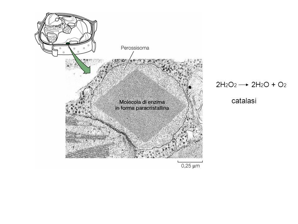 2H2O2 2H2O + O2 catalasi. Non ha una doppia membrana e si pensa derivi dal reticolo endoplasmatico.