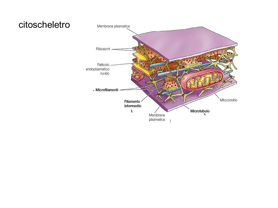 citoscheletro